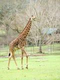 非洲长颈鹿徒步旅行队 免版税图库摄影