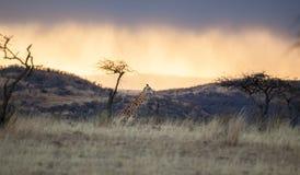 非洲长颈鹿日落日出 免版税库存照片