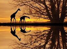 非洲长颈鹿横向 免版税库存照片