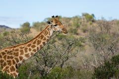 非洲长颈鹿特写镜头 免版税库存图片