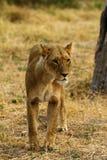 非洲雌狮一大五 免版税库存图片