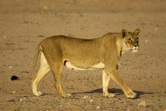 非洲雌狮 免版税库存图片
