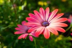 非洲雏菊粉红色 免版税库存图片