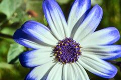 非洲雏菊花在夏天 免版税库存照片