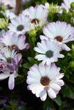 非洲雏菊,白色和紫色花 库存图片