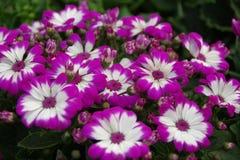非洲雏菊紫色 免版税图库摄影