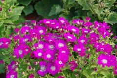 非洲雏菊紫色 库存照片