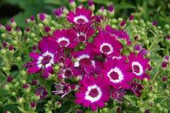 非洲雏菊紫色 图库摄影