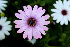 非洲雏菊Osteospermum紫色 免版税库存照片