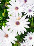 非洲雏菊Osteospermum 库存照片