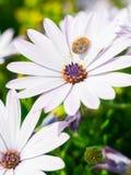 非洲雏菊Osteospermum 免版税图库摄影