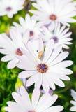 非洲雏菊Osteospermum 免版税库存图片