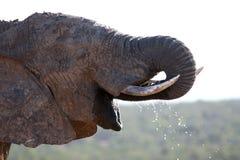 非洲饮用的大象水 免版税库存图片