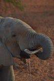 非洲饮用的大象 图库摄影
