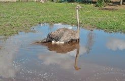 非洲驼鸟在水坑沐浴 库存图片
