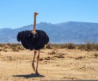 非洲驼鸟男性  免版税库存照片