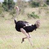 非洲驼鸟赛跑男性  图库摄影