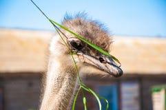 黑非洲驼鸟 库存图片