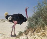 非洲骆驼属男性驼鸟非洲鸵鸟类 免版税图库摄影