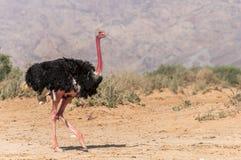 非洲骆驼属男性驼鸟非洲鸵鸟类 免版税库存照片