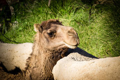 非洲骆驼 免版税库存照片