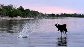 非洲鱼老鹰, haliaeetus vocifer,在飞行中成人,钓鱼在Chobe河, Okavango三角洲在博茨瓦纳, 股票录像