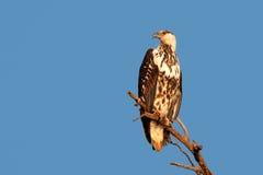 非洲鱼老鹰 免版税库存图片