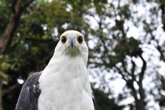 非洲鱼鹰的非洲鱼鹰(Haliaeetus vocifer)画象 免版税库存图片