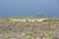 非洲鳄鱼画象  免版税库存照片