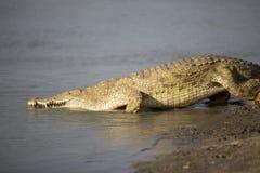 非洲鳄鱼画象  库存图片