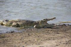 非洲鳄鱼画象  图库摄影