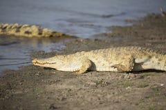 非洲鳄鱼画象  库存照片