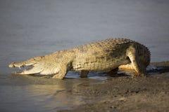 非洲鳄鱼画象  免版税库存图片