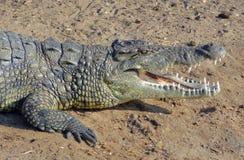 非洲鳄鱼 免版税库存图片