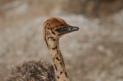 非洲鸵鸟类骆驼属婴孩 免版税库存图片