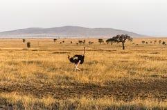 非洲鸵鸟类骆驼属(驼鸟) 库存照片