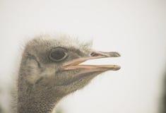 非洲鸵鸟类骆驼属 免版税库存照片