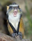 非洲黑猩猩大猩猩guenon猴子狼 免版税库存照片
