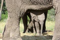 非洲婴孩大象 免版税图库摄影