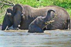 非洲africana灌木大象非洲象属 免版税图库摄影