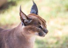 非洲caracal天猫座 免版税库存照片