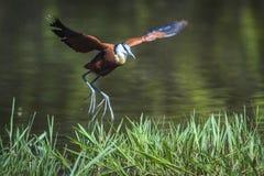 非洲jacana在克鲁格国家公园,南非 免版税库存图片