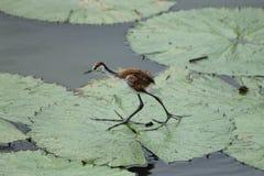 非洲jacana鸟 图库摄影
