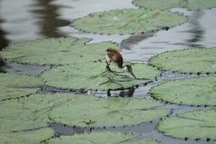 非洲jacana鸟 库存图片