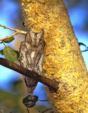 非洲Scops猫头鹰在克留格尔国家公园 库存图片