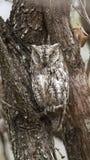 非洲Scops猫头鹰在克留格尔国家公园 库存照片