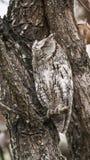 非洲Scops猫头鹰在克留格尔国家公园 免版税库存照片