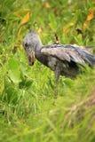 非洲shoebill通配的乌干达 免版税库存图片