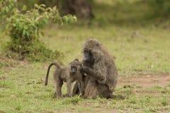非fleaing橄榄色的狒狒Cub 免版税库存照片