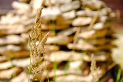 靠岸与沙丘和草滨草在软的晚上日落光 石墙在背景中 免版税库存图片